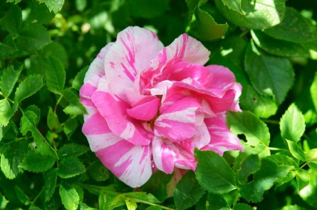 rosegränna
