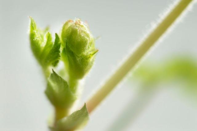pelargoniumvår