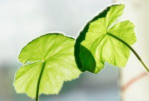 pelargoniumvår3
