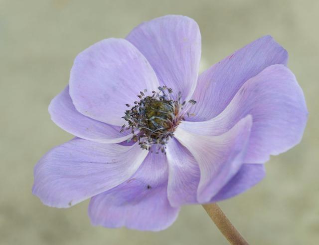 anemoneblå