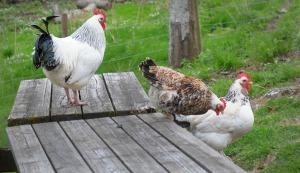 høner2
