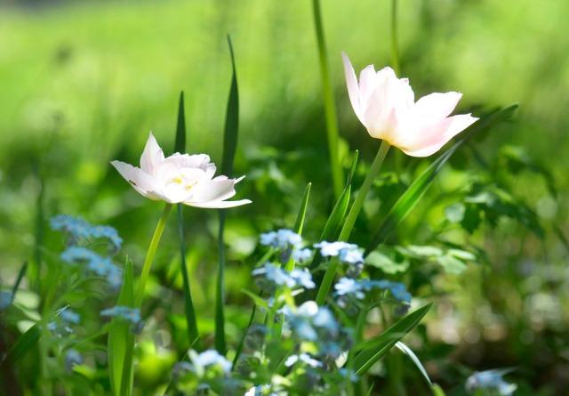 tulipanfarger2