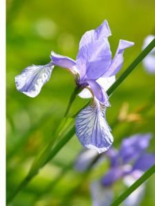 irislyseblå