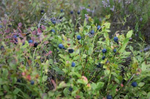 blåbæreventyr