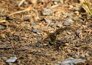 Øyenstikker-maur1