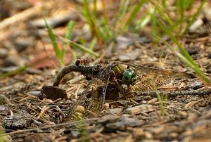 Øyenstikker-maur2