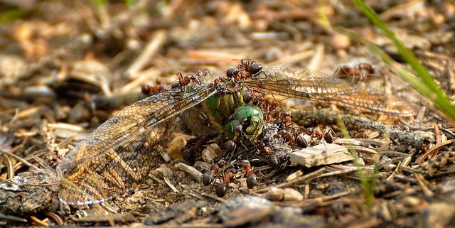 Øyenstikker-maur4