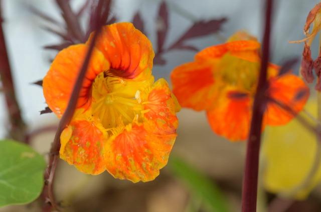 blomkarsenach