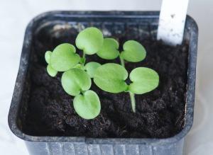 pelargoniumspirer