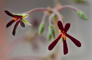 pelargoniumjuli12