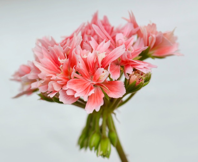 pelargoniumjuli13