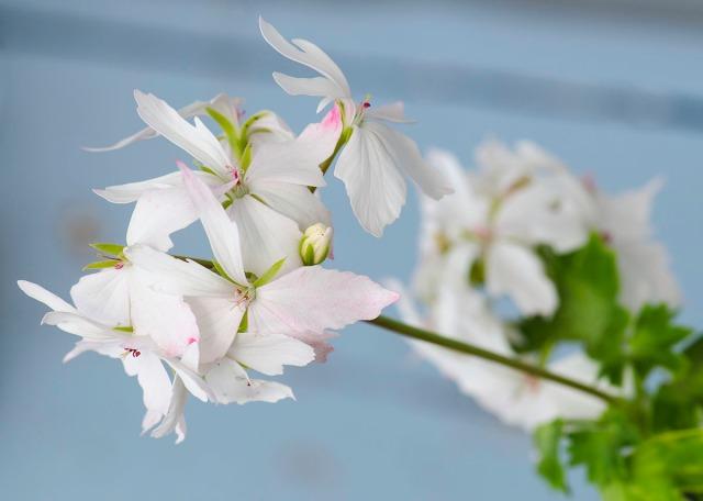 pelargoniumjuli14