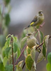 Høstfugler-4