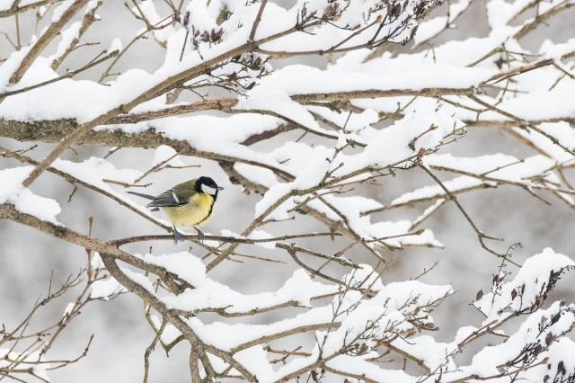 vinterfugler-1