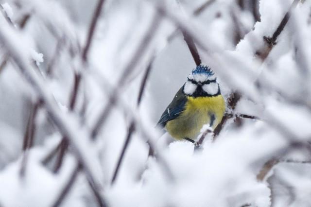 vinterfugler-2