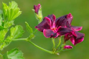 pelargoniumlord