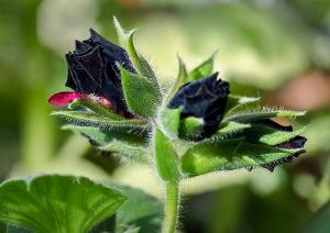 pelargoniumsvart