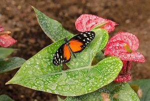 sommerfugl6