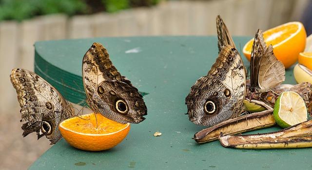 sommerfugl7