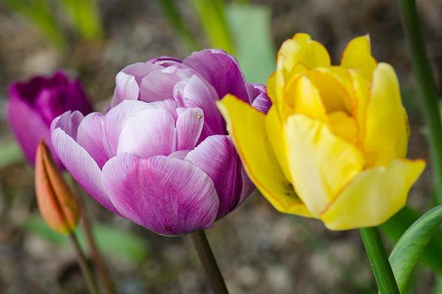 tulipan115