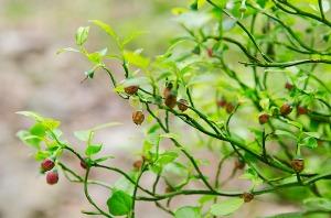 blåbærblomster