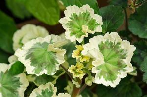 pelargoniumtrollkrem