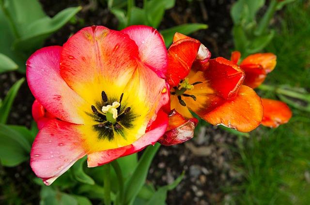 tulipanbotan1