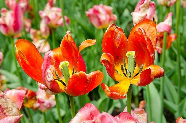 tulipanbotan3