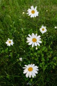 Prestekrager i hagen. Blomster.