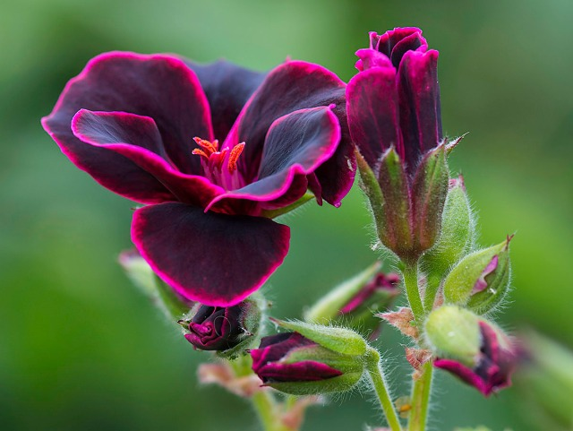 pelargoniumlordbute