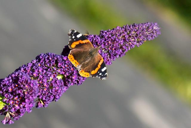 sommerfuglbusk