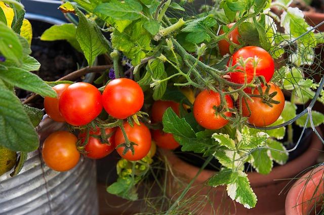 tomatersmå