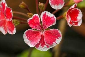 pelargoniumMr.Wreen