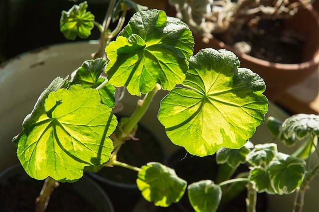 pelargoniumstikling1