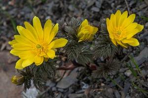 botaniskhage_adonis
