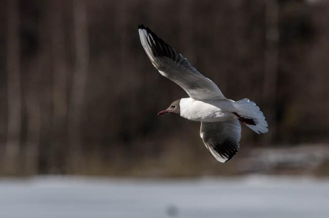 Østensjøfugler_påske-3