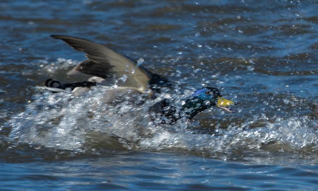 Østensjøfugler_påske-4