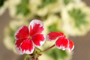 pelargoniumtrollkrem2