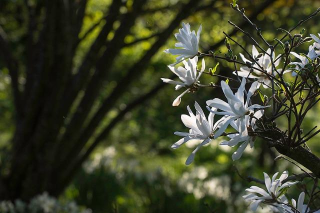 magnoliahvit