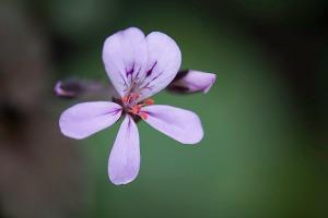 pelargonium_australe